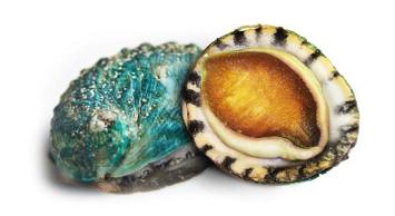 CMG Jade Tiger Abalone