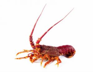 CMG Australian Lobster