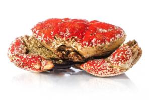 CMG King Crab Australian